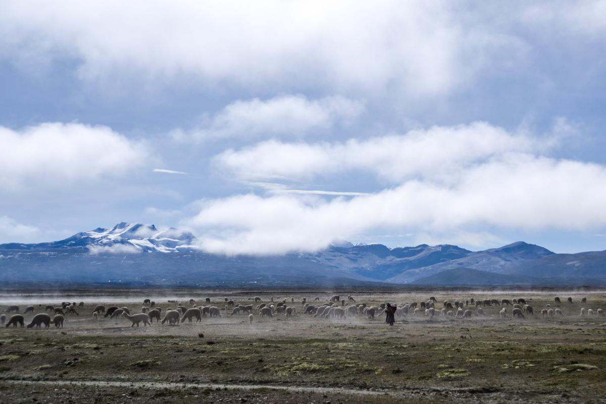 Bolivia - Landscape herder with alpacas-- 1200px