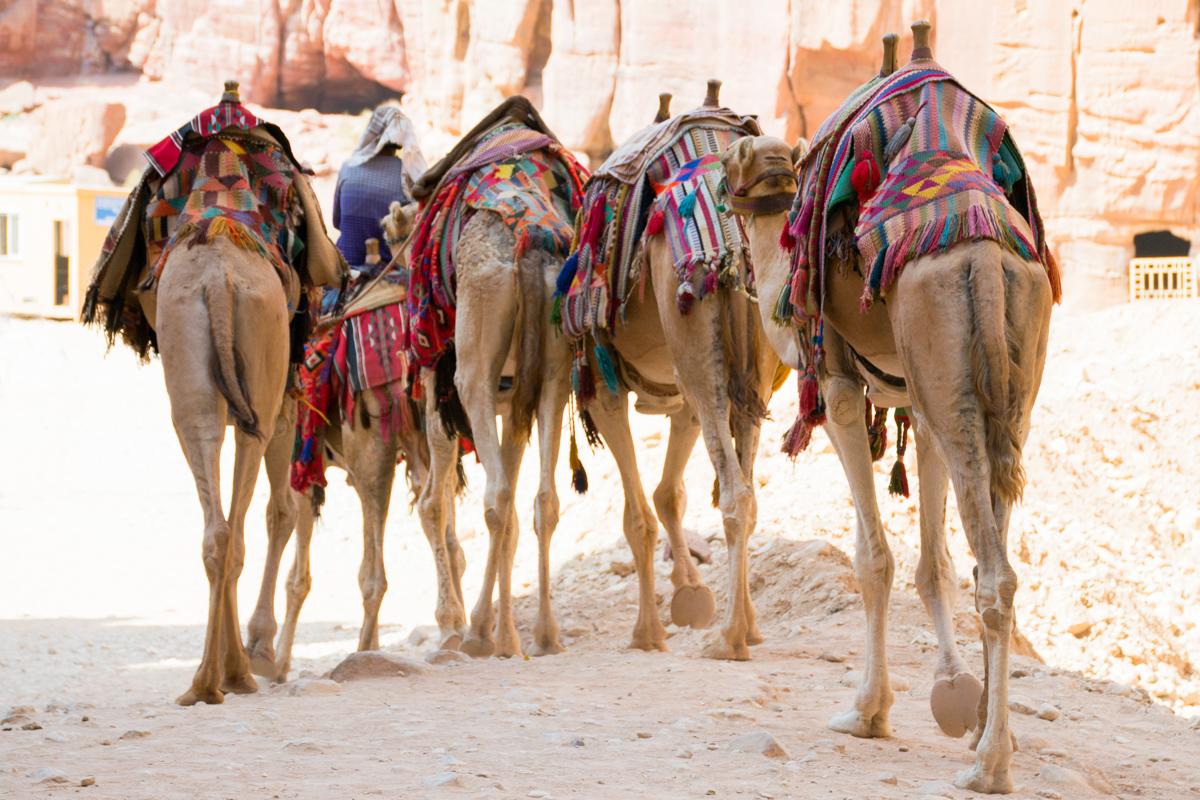 Israel - Camel backs Jordan Petra- 1200px