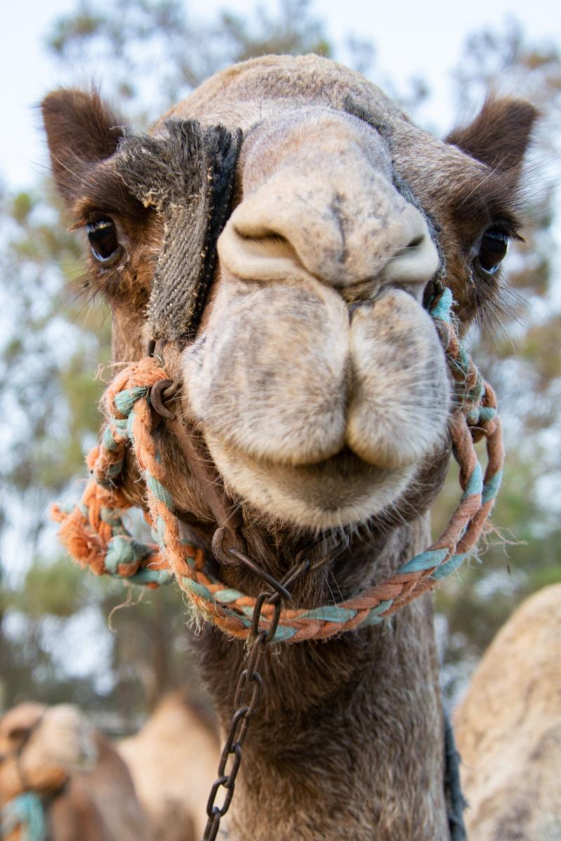 Israel - Camel head- 1200px