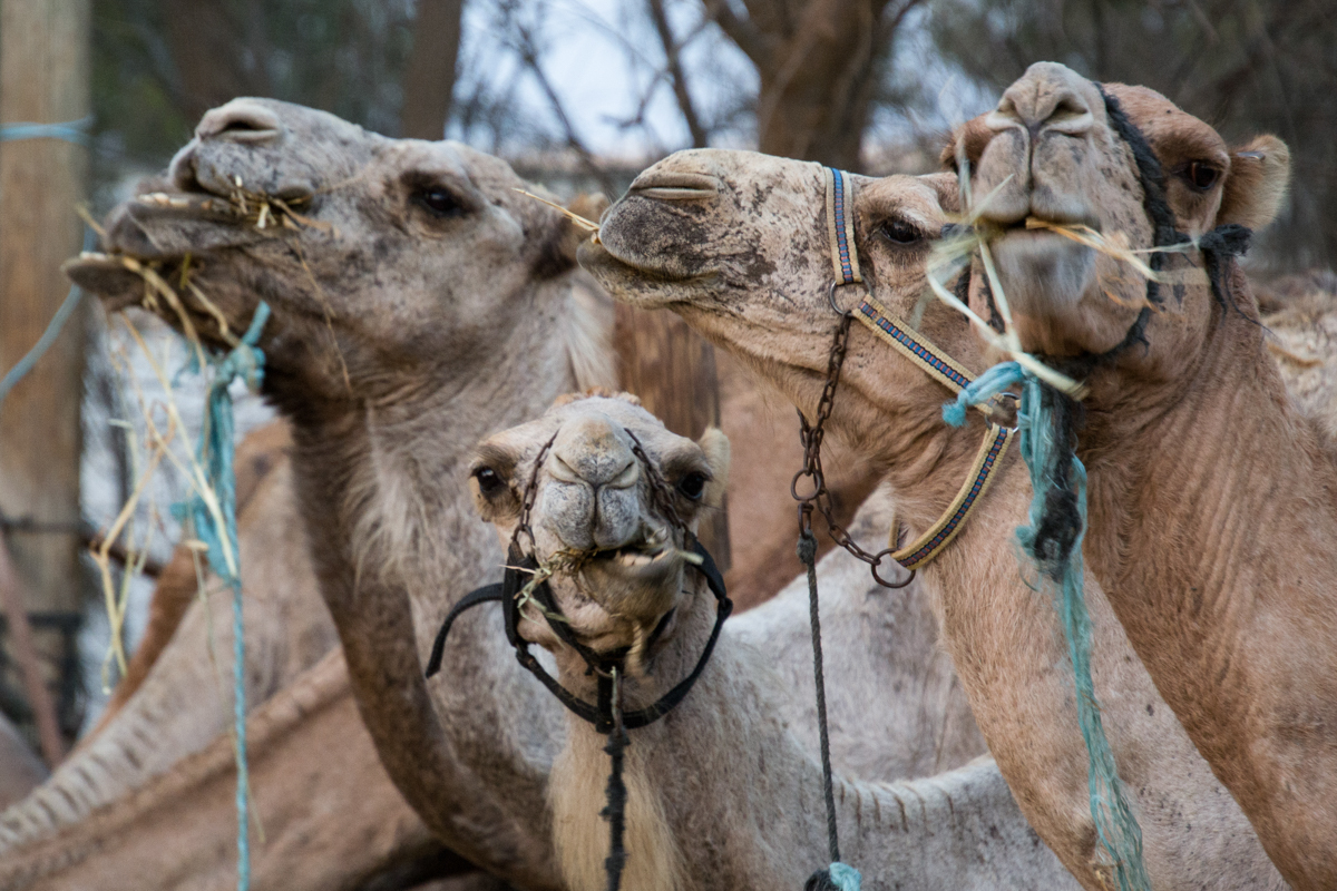 Israel - Chewing camels- 1200px